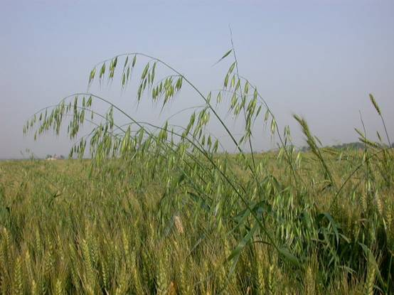 血钻野燕麦是真是假_野燕麦是真的吗_血砖野燕麦是真的吗_淘宝助理