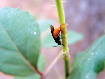 别名为刺蛾,八角虫